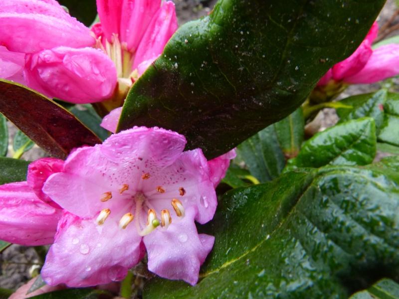 Rhododendron - espèces, variétés, floraisons - Page 3 Rhodod23