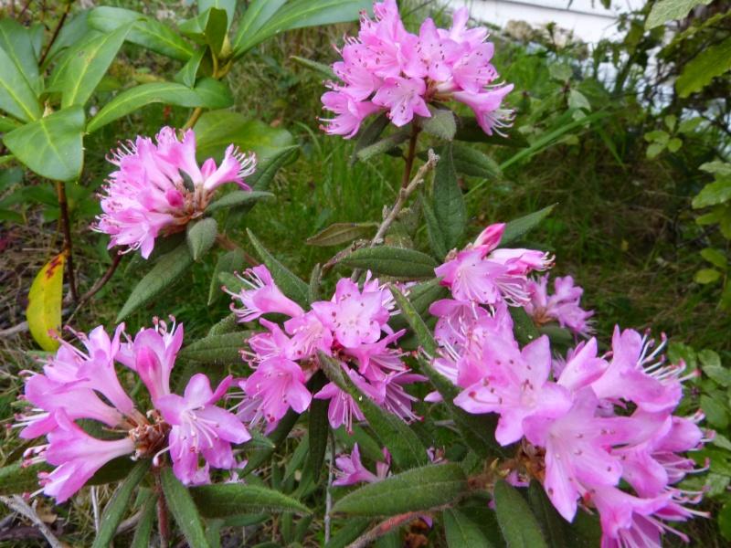 Rhododendron - espèces, variétés, floraisons - Page 4 Rhodod30