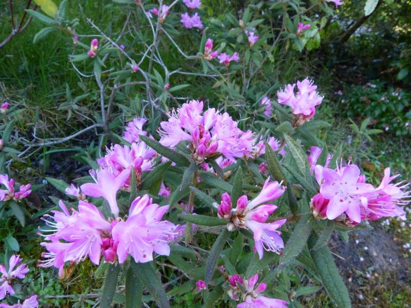 Rhododendron - espèces, variétés, floraisons - Page 4 Rhodod31
