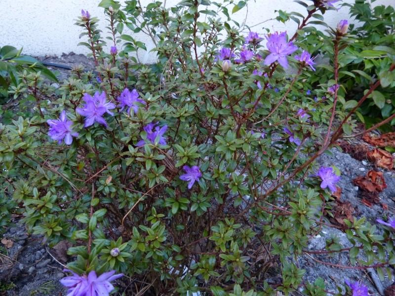 Rhododendron - espèces, variétés, floraisons - Page 4 Rhodod33