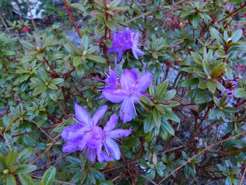 Rhododendron - espèces, variétés, floraisons - Page 4 Rhodod34