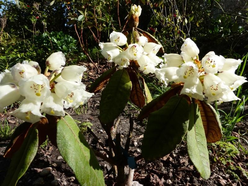 Rhododendron - espèces, variétés, floraisons - Page 4 Rhodod36
