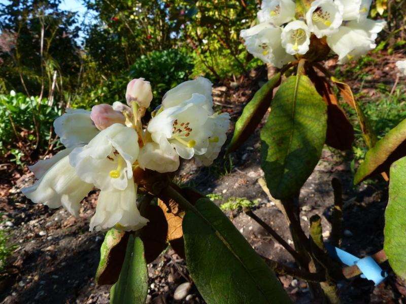 Rhododendron - espèces, variétés, floraisons - Page 4 Rhodod37