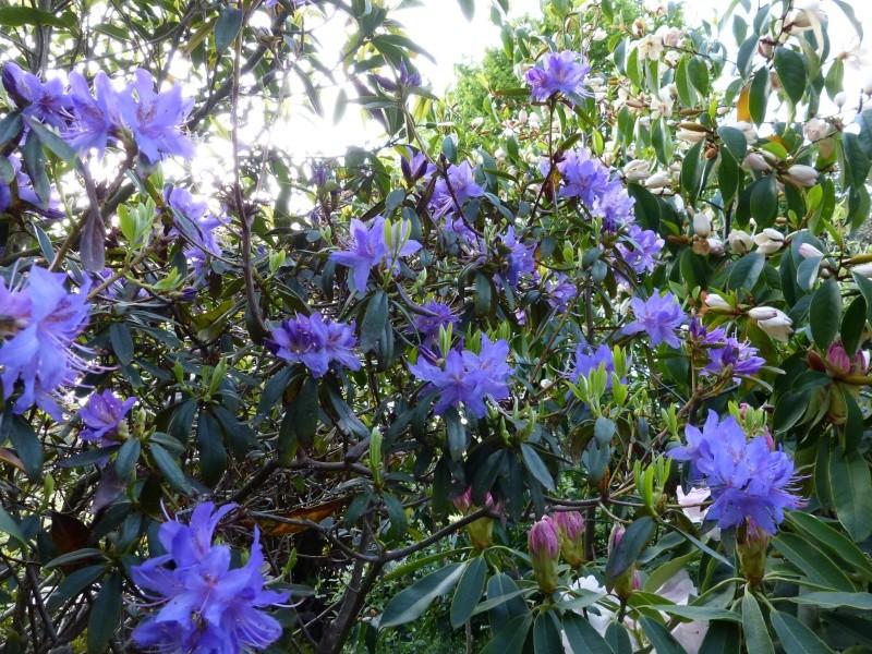 Rhododendron - espèces, variétés, floraisons - Page 4 Rhodod48