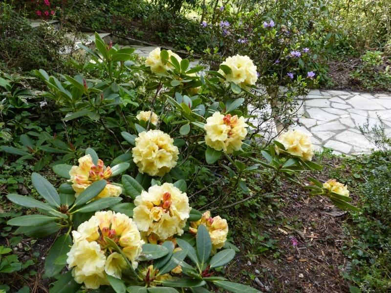 Rhododendron - espèces, variétés, floraisons - Page 4 Rhodod51