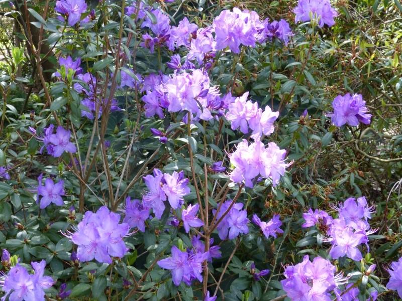 Rhododendron - espèces, variétés, floraisons - Page 4 Rhodod52