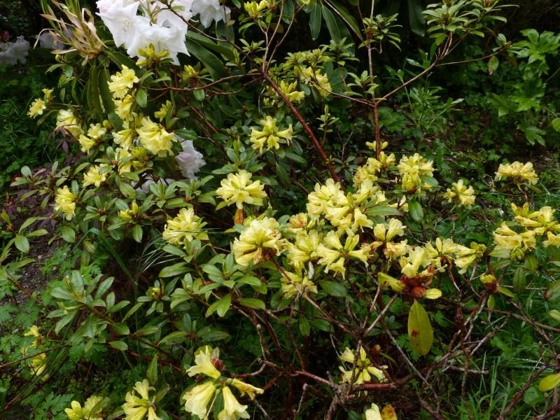 Rhododendron - espèces, variétés, floraisons - Page 4 Rhodod53