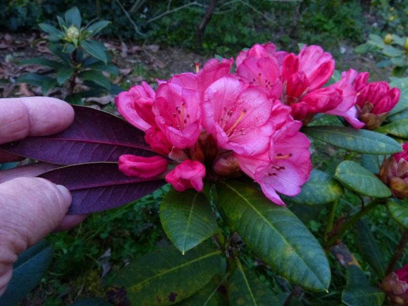 Rhododendron - espèces, variétés, floraisons - Page 4 Rhodod54