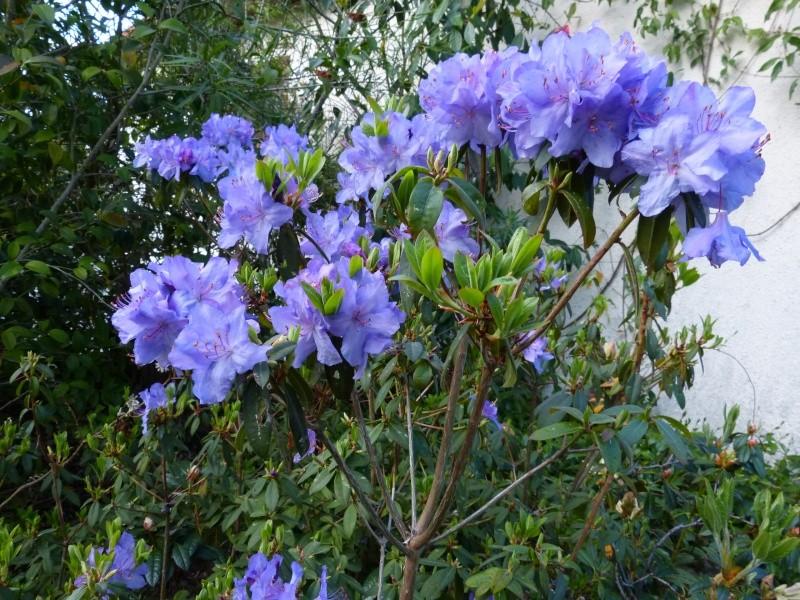 Rhododendron - espèces, variétés, floraisons - Page 4 Rhodod56