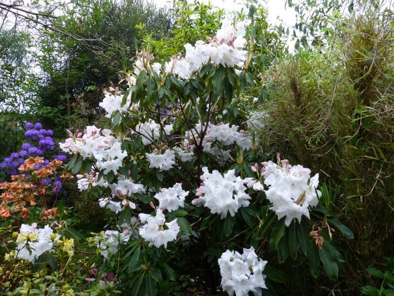 Rhododendron - espèces, variétés, floraisons - Page 4 Rhodod59