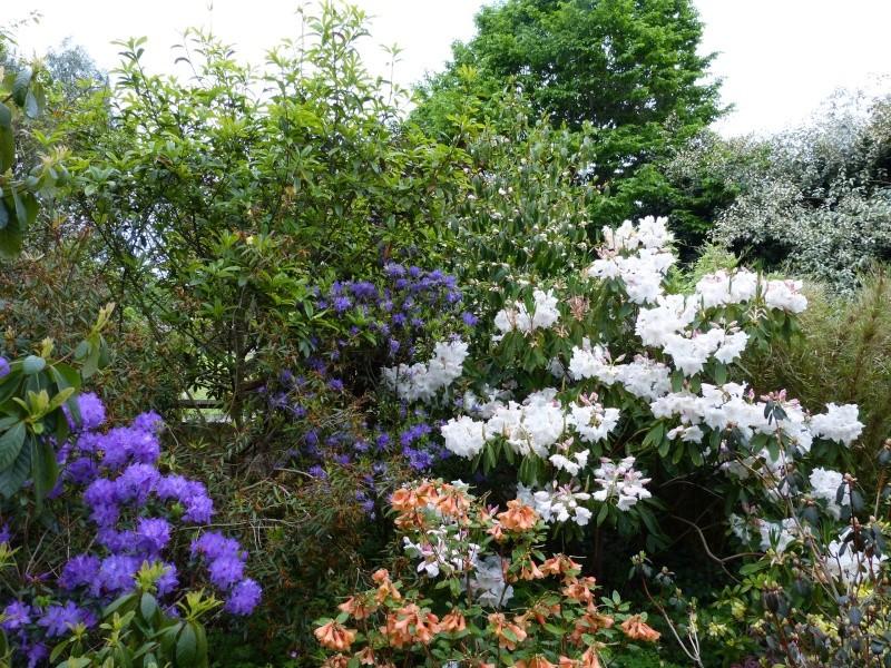 Rhododendron - espèces, variétés, floraisons - Page 4 Rhodod62