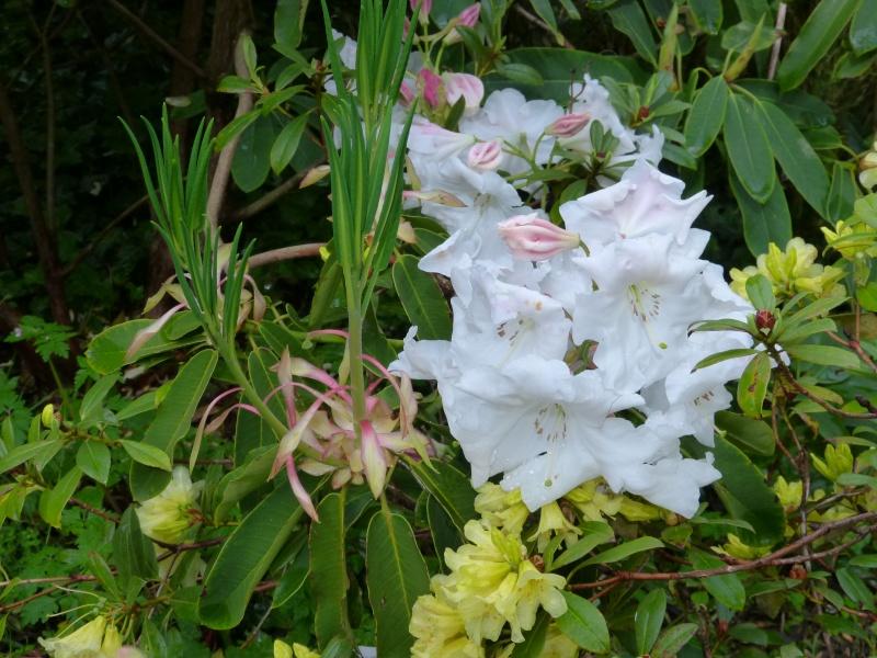Rhododendron - espèces, variétés, floraisons - Page 4 Rhodod63
