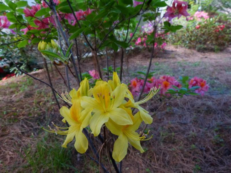 Rhododendron - espèces, variétés, floraisons - Page 4 Rhodod65