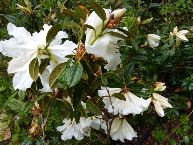 Rhododendron - espèces, variétés, floraisons - Page 4 Rhodod66