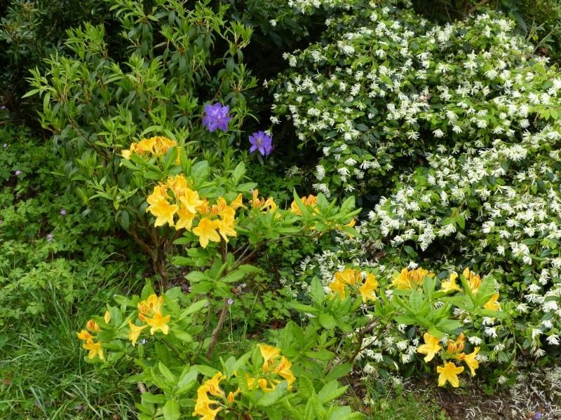 Rhododendron - espèces, variétés, floraisons - Page 4 Rhodod70