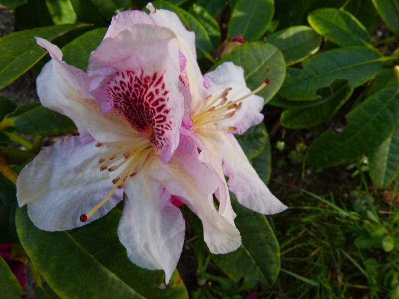 Rhododendron - espèces, variétés, floraisons - Page 4 Rhodod74