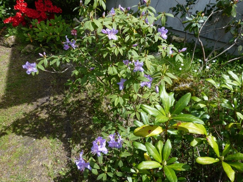 Rhododendron - espèces, variétés, floraisons - Page 4 Rhodod75