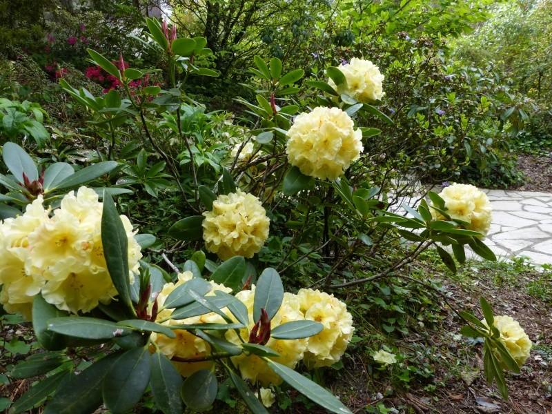 Rhododendron - espèces, variétés, floraisons - Page 4 Rhodod76