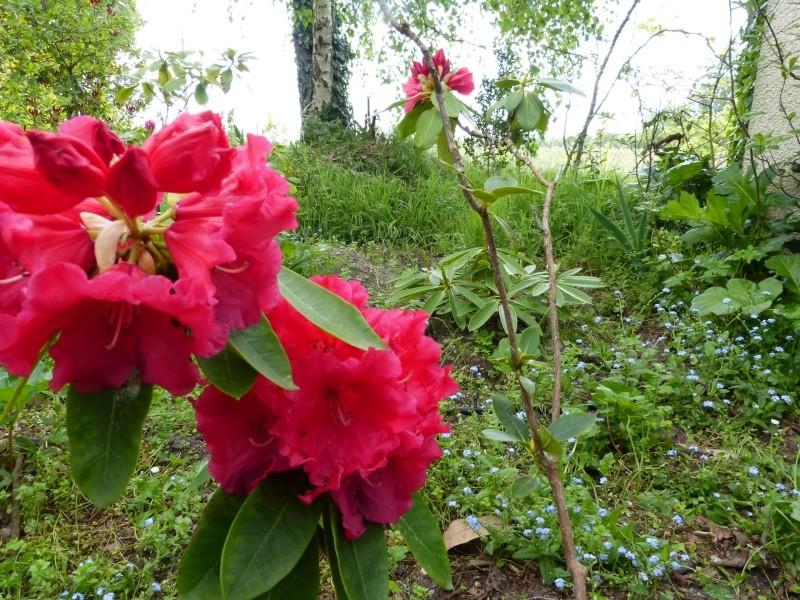 Rhododendron - espèces, variétés, floraisons - Page 4 Rhodod77