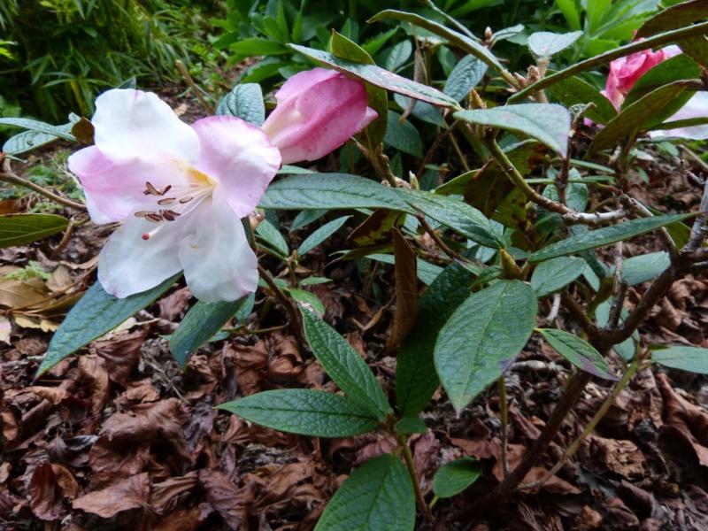 Rhododendron - espèces, variétés, floraisons - Page 4 Rhodod78