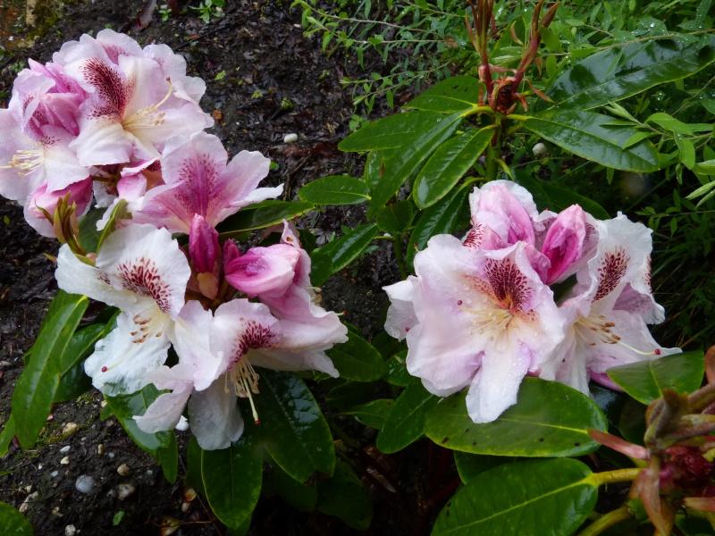 le joli mois de mai des fous jardiniers Rhodod79