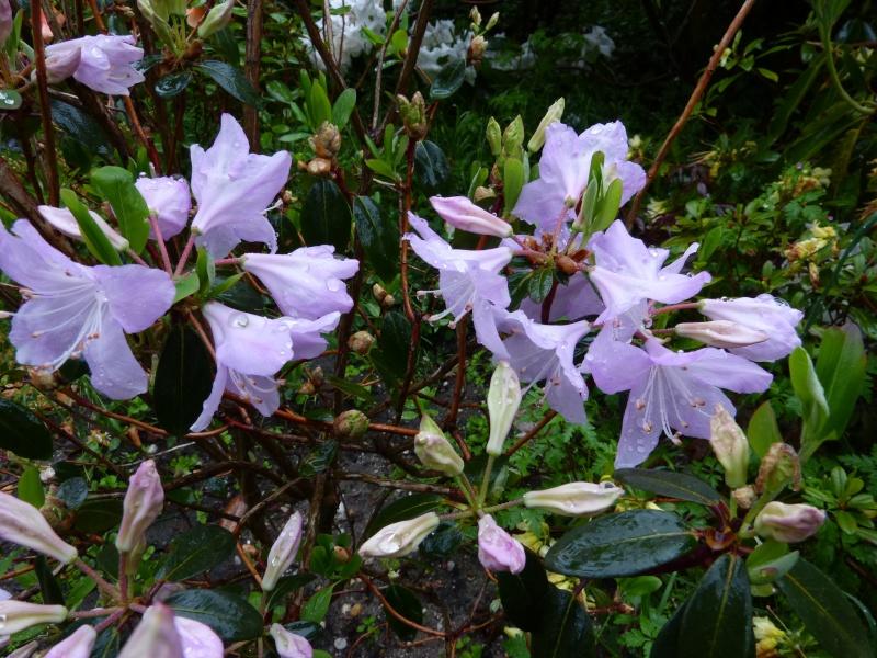 le joli mois de mai des fous jardiniers Rhodod81