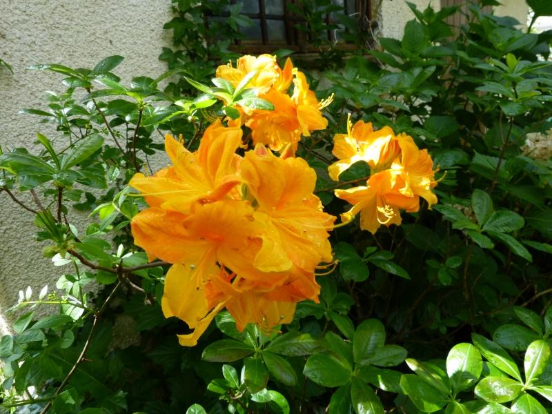 Rhododendron - espèces, variétés, floraisons - Page 5 Rhodod86