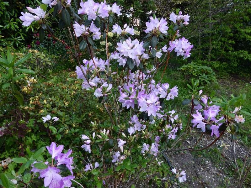 Rhododendron - espèces, variétés, floraisons - Page 5 Rhodod88