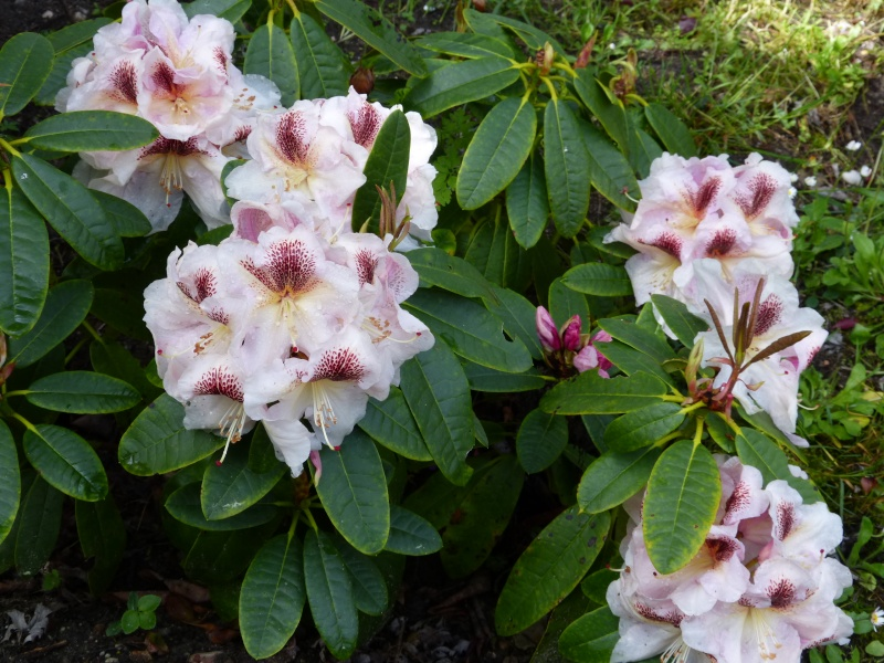 Rhododendron - espèces, variétés, floraisons - Page 5 Rhodod89
