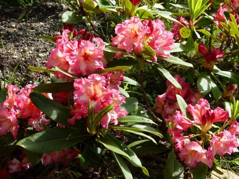 Rhododendron - espèces, variétés, floraisons - Page 5 Rhodod90