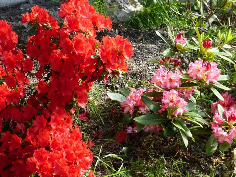 Rhododendron - espèces, variétés, floraisons - Page 5 Rhodod91