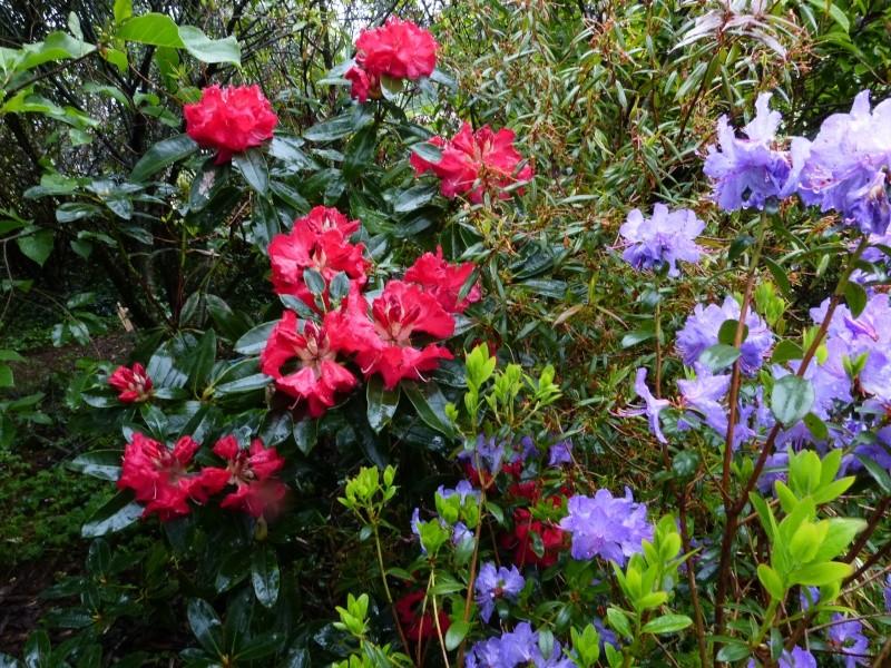 Rhododendron - espèces, variétés, floraisons - Page 5 Rhodod92