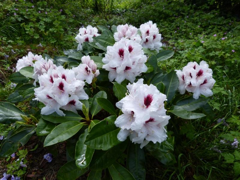 Rhododendron - espèces, variétés, floraisons - Page 5 Rhodod93