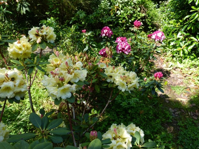 le joli mois de mai des fous jardiniers - Page 3 Rhodod95