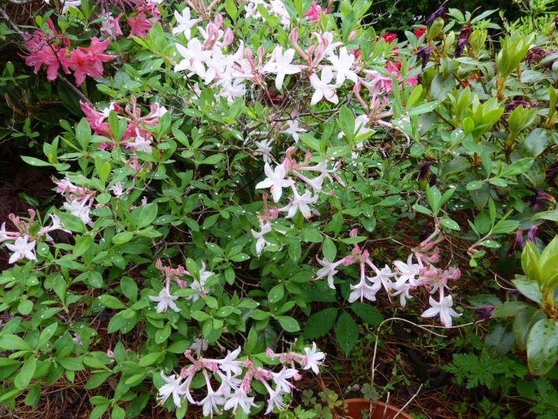 Rhododendron - espèces, variétés, floraisons - Page 5 Rhodod96