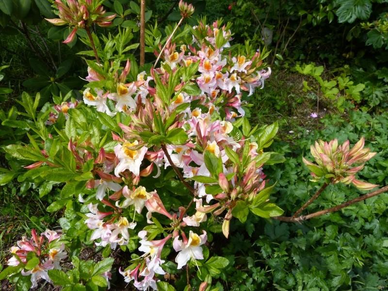 Rhododendron - espèces, variétés, floraisons - Page 5 Rhodod98