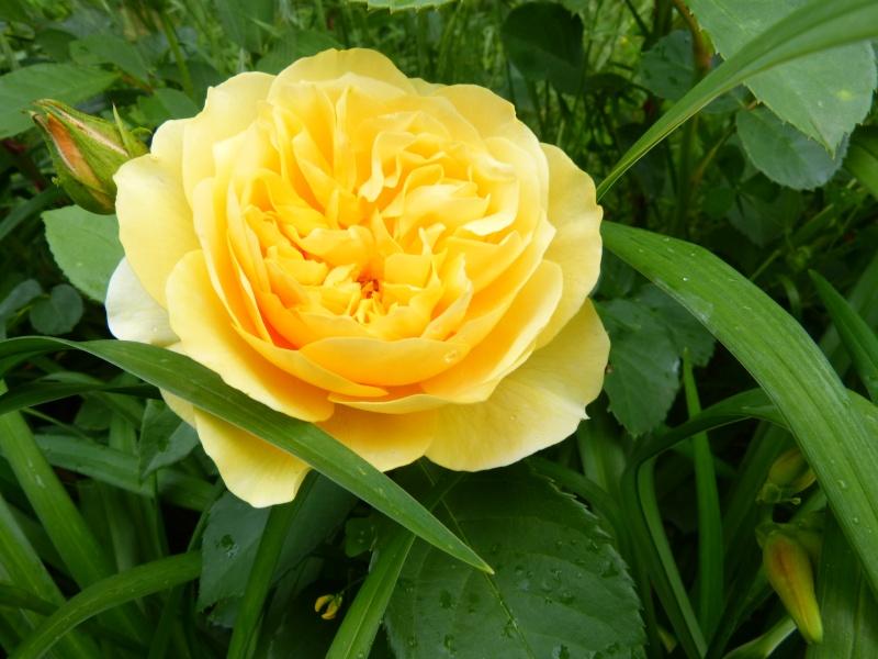 le joli mois de mai des fous jardiniers - Page 7 Rosa_g10