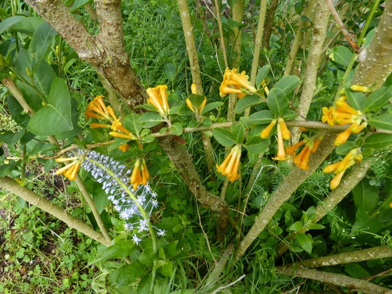 le joli mois de mai des fous jardiniers - Page 3 Scilla10