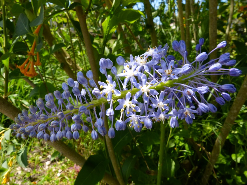 le joli mois de mai des fous jardiniers - Page 3 Scilla11