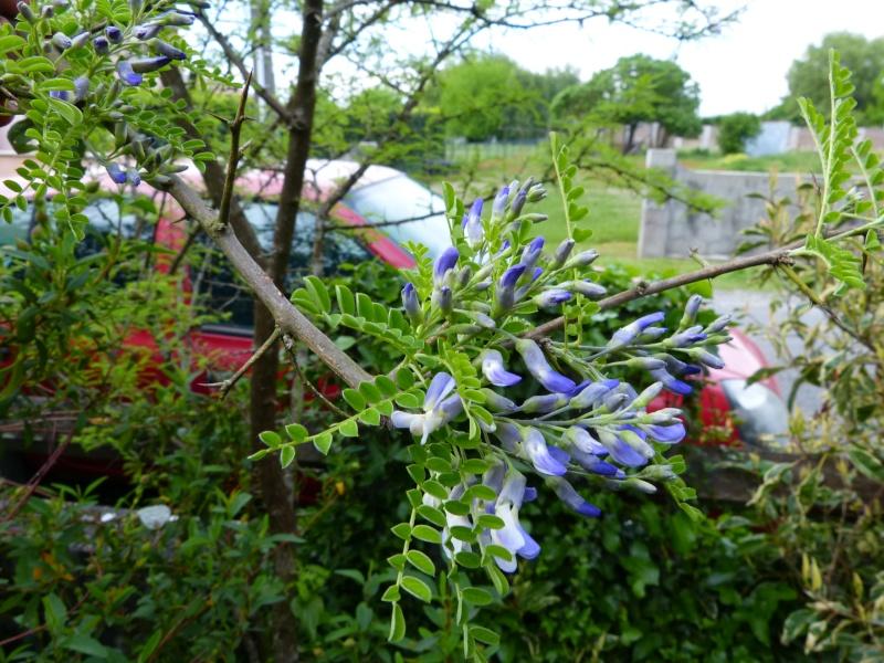 le joli mois de mai des fous jardiniers - Page 3 Sophor10