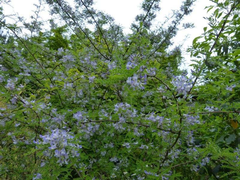 le joli mois de mai des fous jardiniers - Page 5 Sophor12