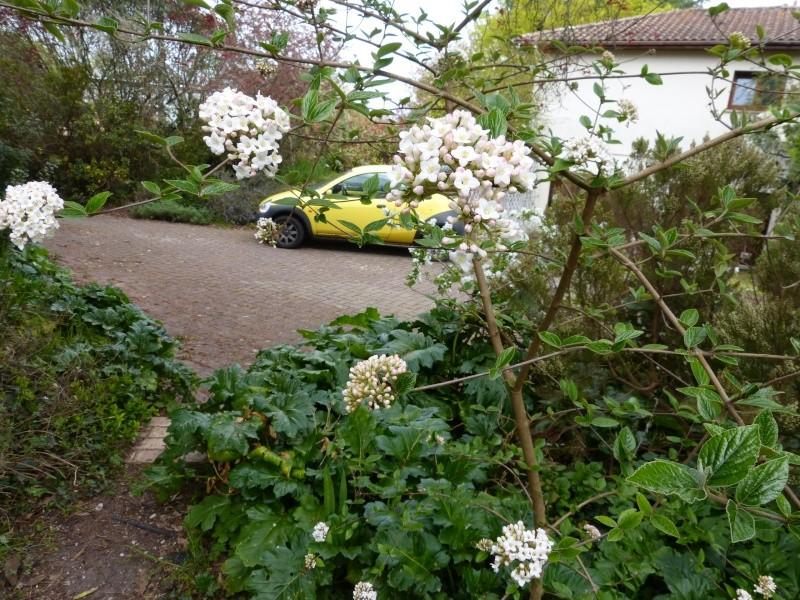 nos plantes parfumées - 2011-2015 - Page 3 Viburn10