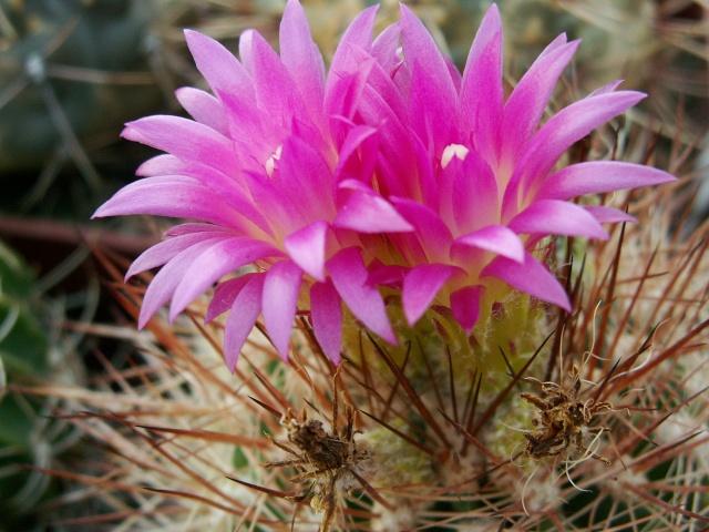 cactus - floraisons de mai 2015 Lobivi10