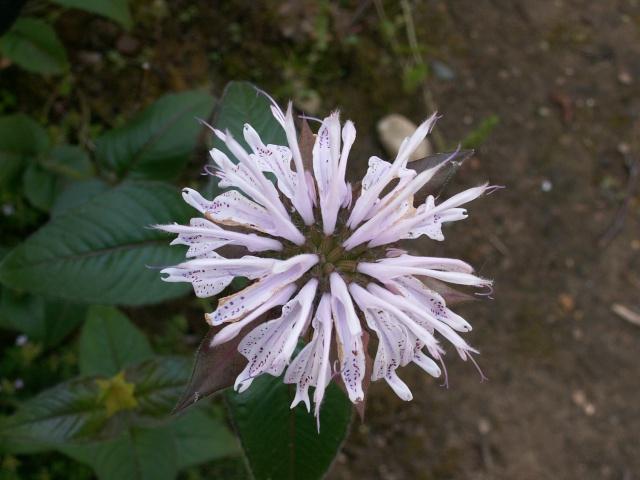 le joli mois de mai des fous jardiniers - Page 6 Monard10