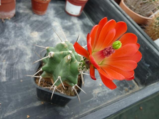cactus - floraisons de mai 2015 P1020016