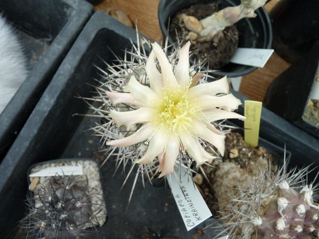 cactus - floraisons de mai 2015 P1020017