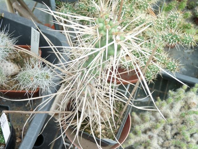 cactus - floraisons de mai 2015 P1020114
