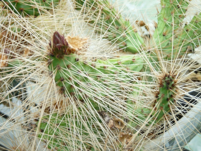 cactus - floraisons de mai 2015 P1020115