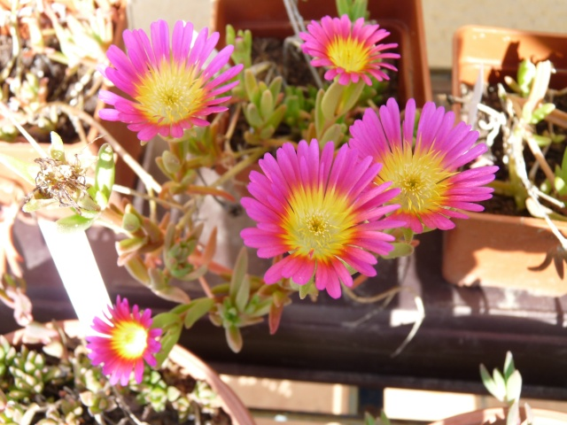 Delosperma série 'Wheels of Wonder' (R) et série 'Jewel of Desert' P1020122
