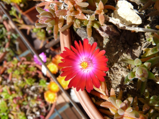 Delosperma série 'Wheels of Wonder' (R) et série 'Jewel of Desert' P1020123